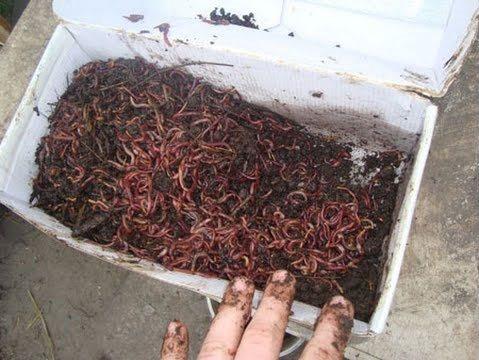 Выращивание червей