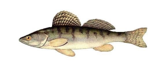 Рыба берш