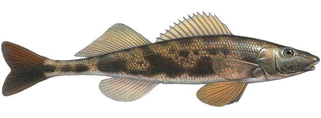 Рыба чоп