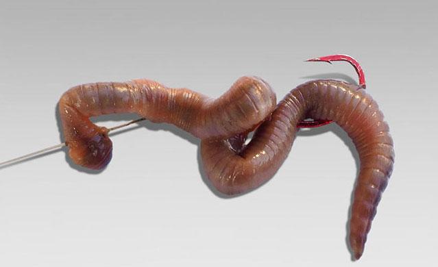 Насаживание червя на крючок
