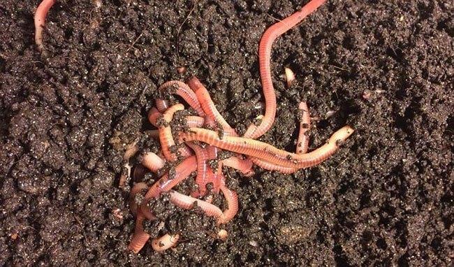 Разведение навозных червей