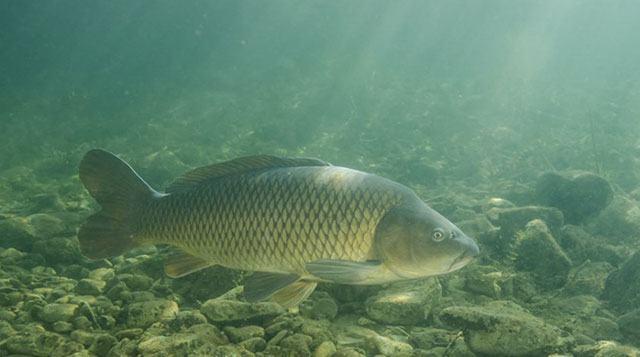 Ощущение запаха рыбами