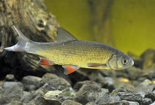Ощущение запахов рыбами