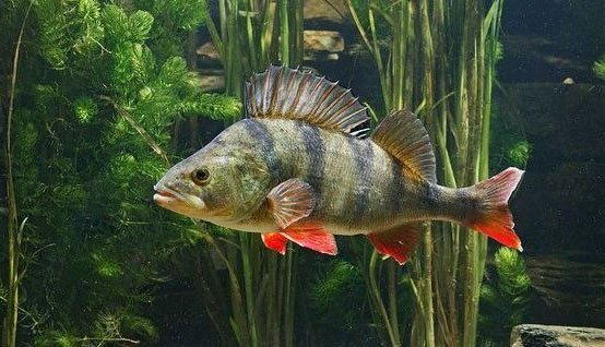 Рыба окунь