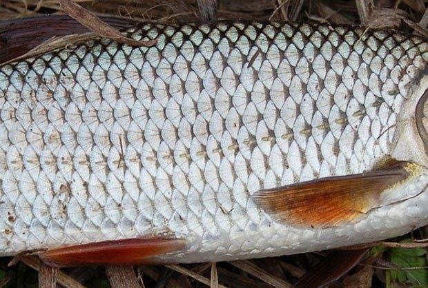 Годовые кольца на чешуе рыбы