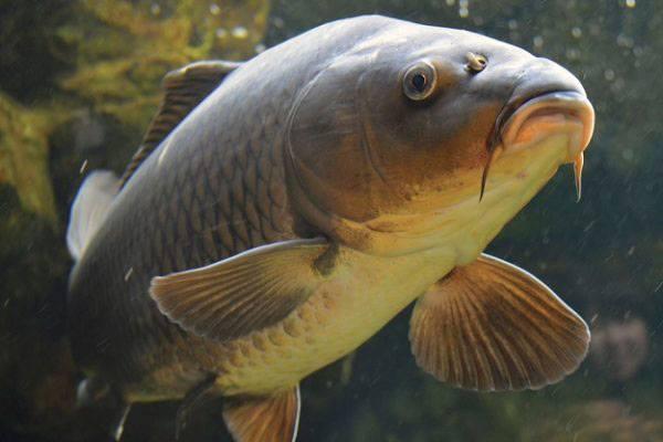 Изучение возраста рыбы по костям