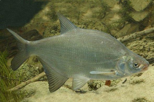 Органы вкуса рыб