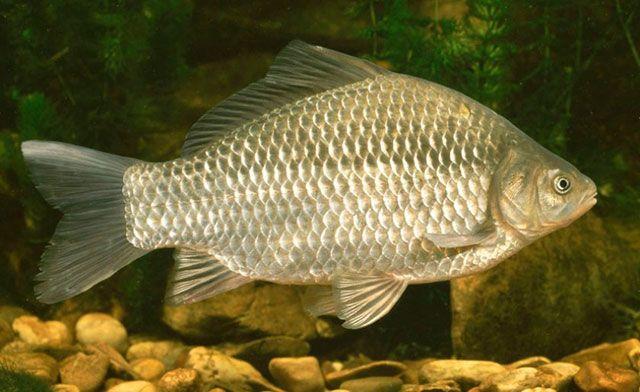 Рецепторы осязания у рыб
