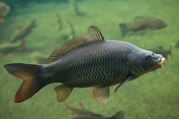 Функции жабр у рыб