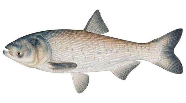 Рыба толстолобик
