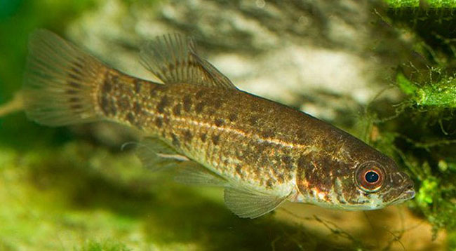 Рыба умбра