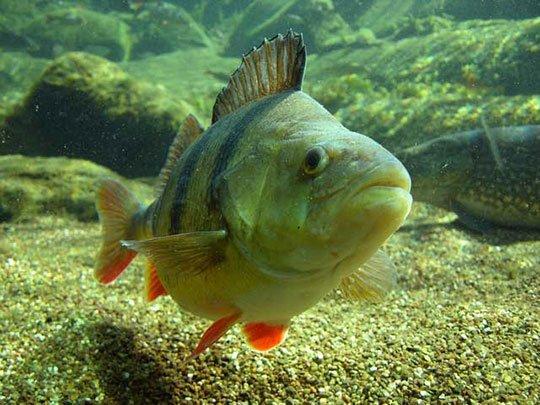 Обонятельные рецепторы рыб