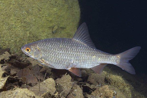 Феромоны страха у рыб